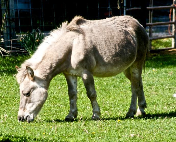 burdegano caballo asno